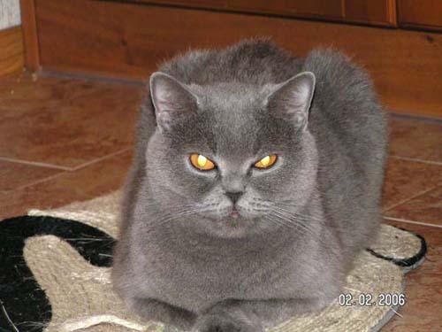 Британская кошка голубая.
